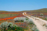 Spring Flowers of the Mojave and Red Rock Canyon, 2009
