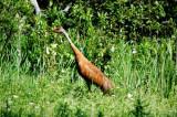 Sandhill Crane, Seney National Wildlife Refuge
