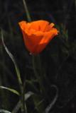 California's flower