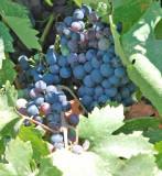tomorrow's wine...California