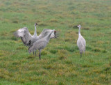 The Courtship Dance of the Sandhill Crane