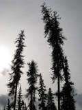 DyingForest3.jpg