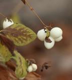 SnowBerries.jpg