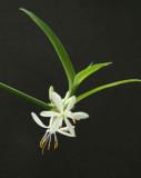 Spider Plant Flower.jpg