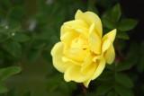 YellowRose2.jpg