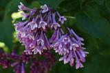 Lilac5.jpg