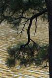 Evening Pine.jpg