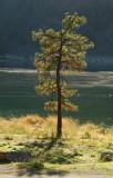 Lonely pine.jpg