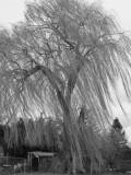 Windy Willow.jpg