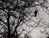 Crow in Bush2.jpg