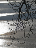 Branches  Ice.jpg