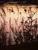 Grasses at Sunset.jpg
