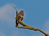 Ormvråk Common Buzzard Täby