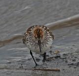 Tundrasnäppa Western Sandpiper Alaska