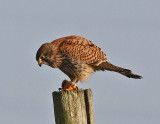 Tornfalk  Common Kestrel