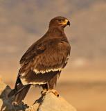 Birds Oman. W.Sahar