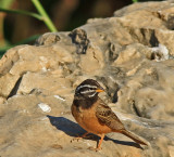 African Rock Bunting 001