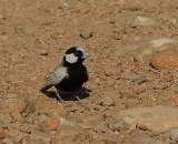 Black-crowned Finch Lark.