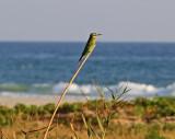 Blue-cheeked Bee-eate
