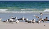 Swift Tern Lesser Crester Tern.