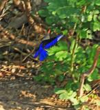 Grey-headed Kingfisher005