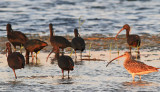Glossy Ibis Curlew.