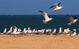 Caspian Gull Caspian Tern