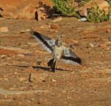 Greater Hoopoe Lark