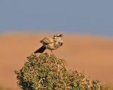 Greater Hoopoe -Lark