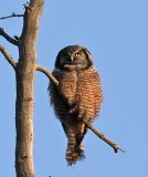 Northern hawk Owl Alaska