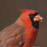 Northern Cardinal Gallery
