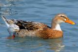 Mallard/Domestic Duck Hybrid