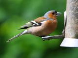(Common) Chaffinch, Ladybower Resv