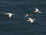 Gannets flying