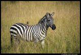 Serengeti_1222.3.jpg