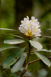 Forest Rhododendron