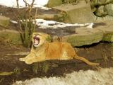 Lion (Panthera leo) in Copenhagen Zoo