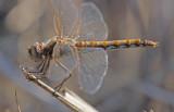 Variegated Meadowhawk female.jpg