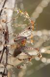 Lynx Spider.jpg