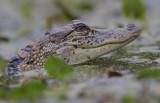 little Alligato.jpg