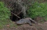 Alligator at Den.jpg