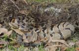 Canebrake Rattlesnake.jpg