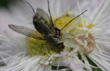 Crab Spider eating Fly.jpg