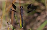 Band-winged Dragonlet.jpg