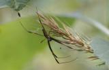 male Goldensilk Spider.jpg