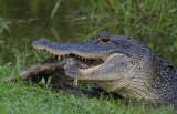 Alligator eating Racoon.jpg