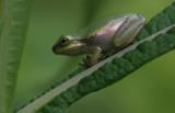 Squirrel Tree Frog.jpg