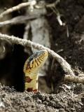 Broad-Banded Water Snake.jpg