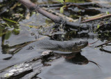 Water Snake.jpg