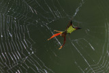 Arrowshaped Micrathena.jpg